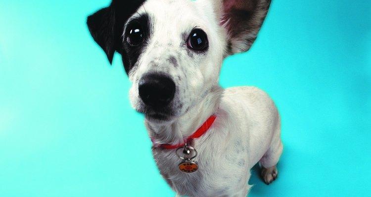 La infección de oído es una de las más frecuentes enfermedades en los perros.