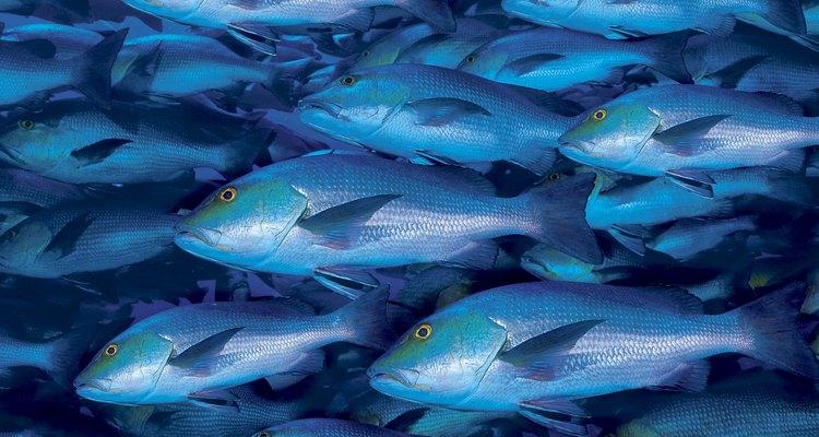 É possível fazer charque de peixe com espécies de água doce ou salgada