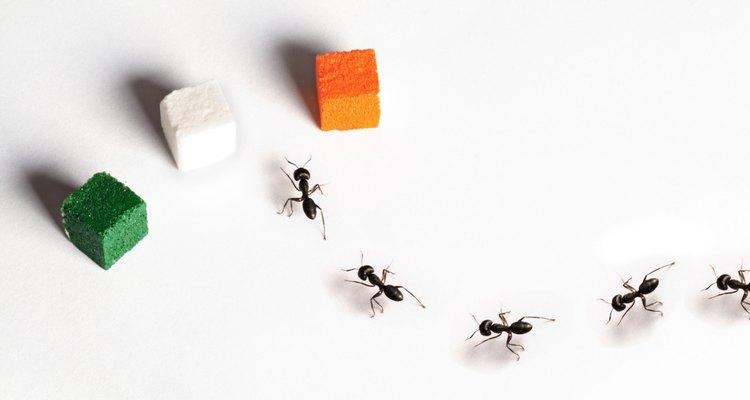 Las hormigas del azúcar son las hormigas que se alimentan de alimentos dulces.