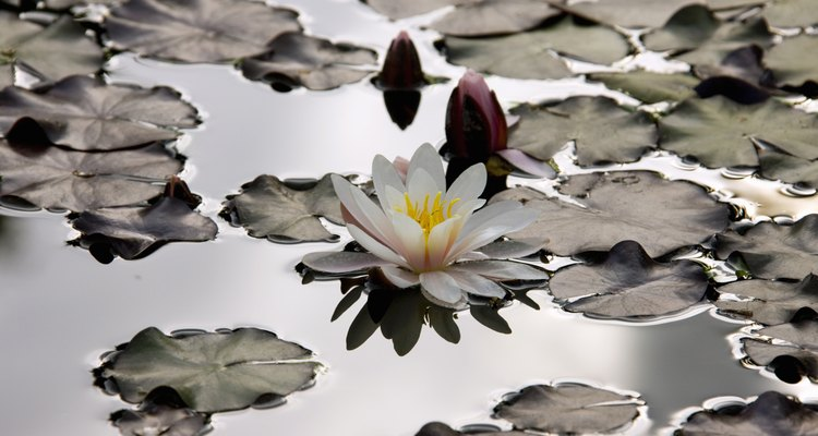 Water lilies can overrun a lake if not kept in check.
