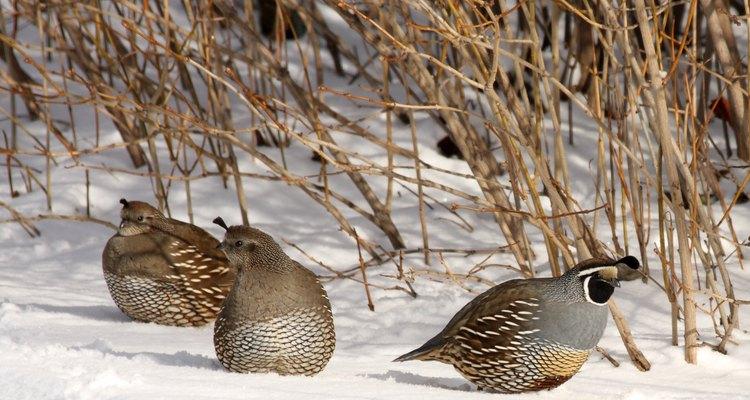 Un macho (derecha) y dos hembras (izquierda) en la nieve.
