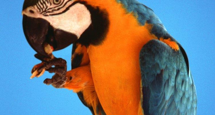 Caso não seja contra, corte as asas do papagaio para evitar que ele voe caso se solte da gaiola de transporte