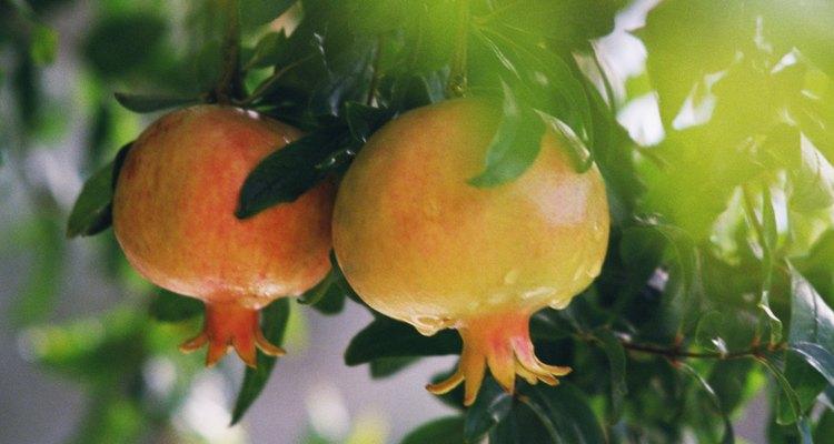 Los granados producen frutos duros, descascarados densamente, como gemas.