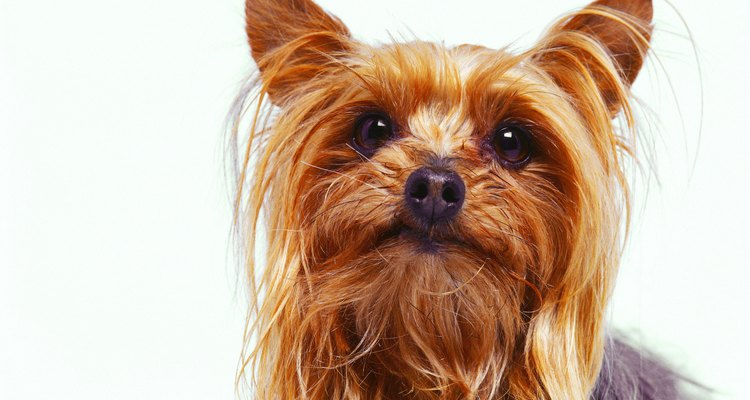 La mayoría de los terrier conservan su pelaje sin importar el largo.