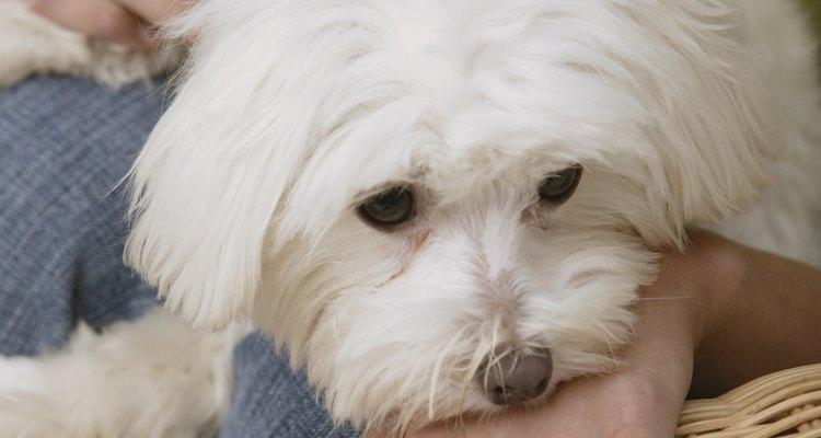 Alimenta a un cachorro de bichon frise cuatro veces al día hasta que tenga 3 meses de edad.