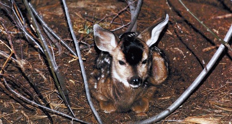 Criar a un ciervo bebé implica mucho trabajo.