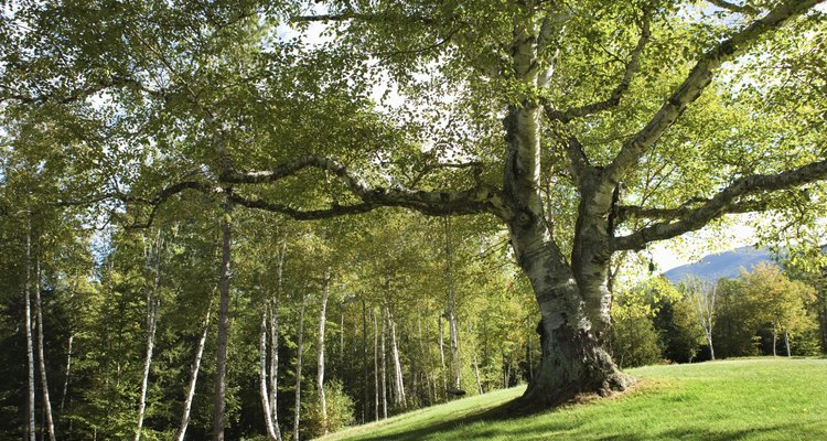 Lush, green forests that lose their leaves typify the deciduous forest.