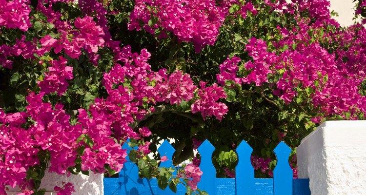 Las enredaderas de buganvilla adulta son un elemento colorido y llamativo para el jardín en los climas tropicales