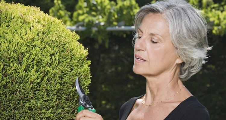 O cipreste italiano ou cipreste comum é uma árvore perene e de crescimento rápido