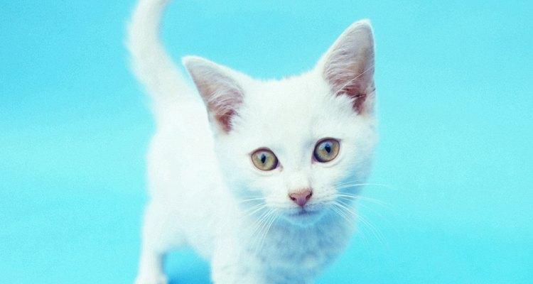 Si su cola chasquea de una manera lenta y suave, el gato está juguetón y feliz.