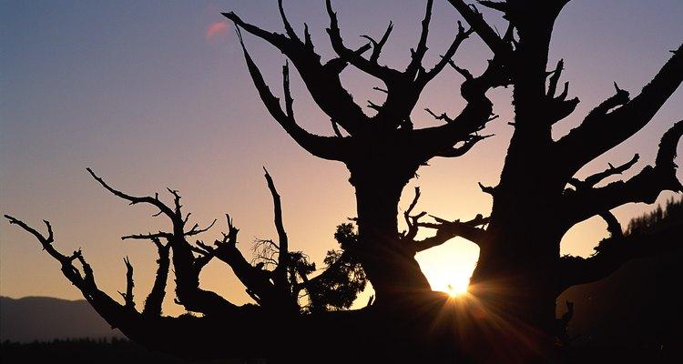 Los pinos bristlecone crecen en ambientes fríos y secos.