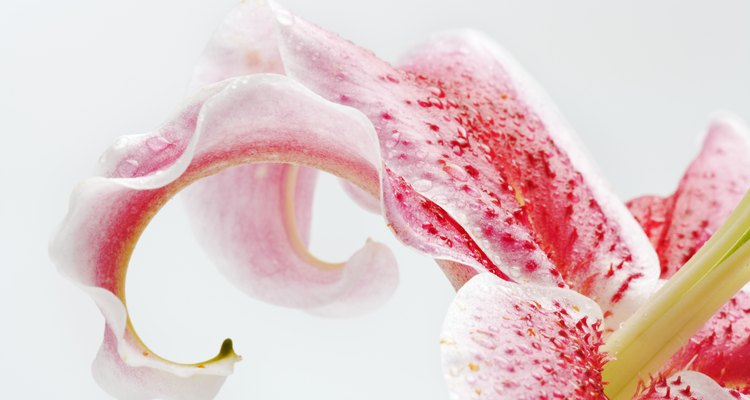 Stargazer lilies are often used to signify missing someone.