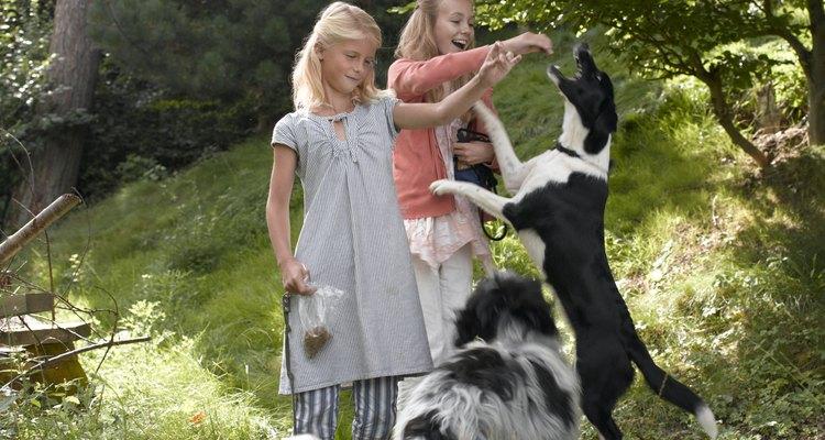 Petiscos naturais para cães, como orelhas de porco, podem ser perigosos