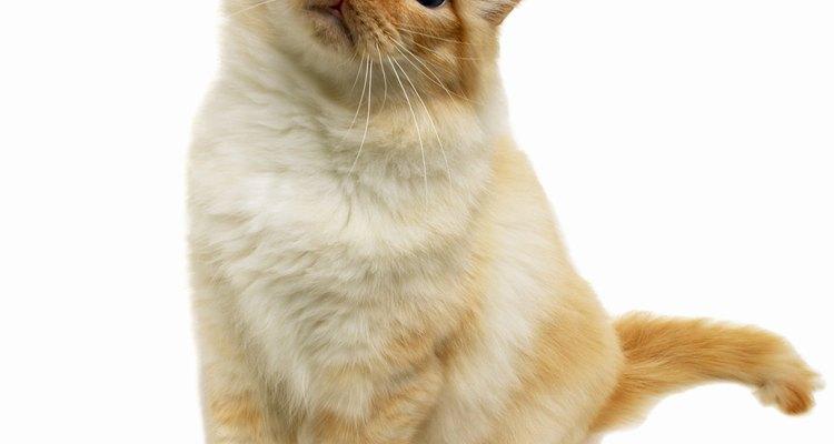 O óleo de coco contribui para a saúde dos gatos