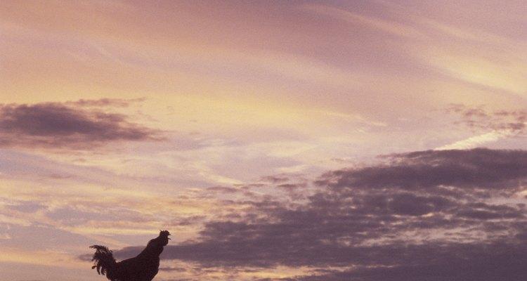 Galos cacarejam ao nascer do sol