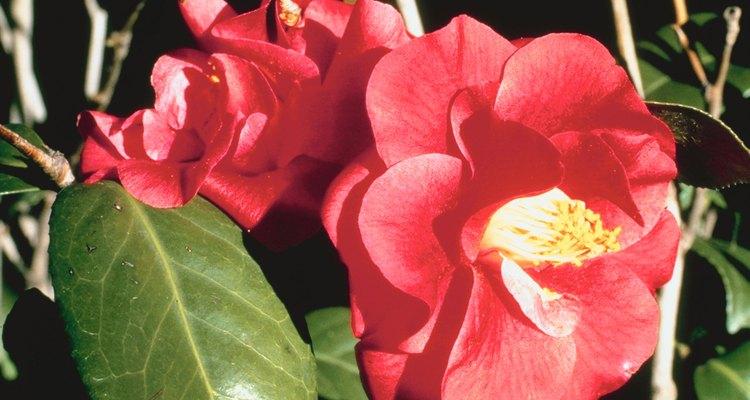 Planta en primavera camelias establecidas.