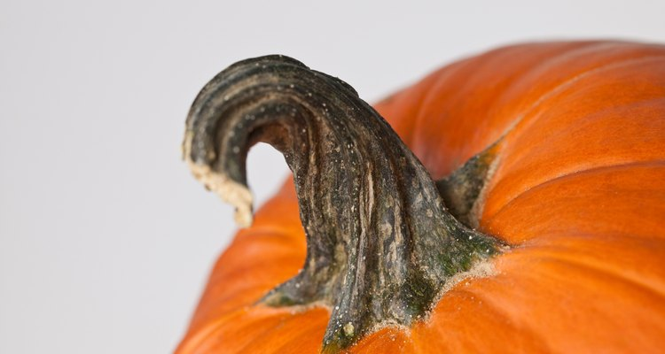 El tallo de una calabaza es el crecimiento grueso como manillar.