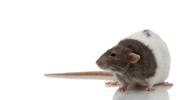A chave para encontrar um rato fujão é atraí-lo para fora de seu esconderijo