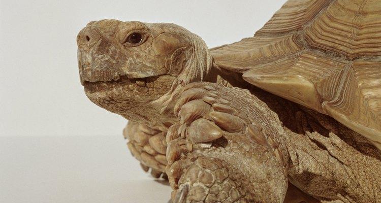 La tortuga sulcata requiere cuidados especiales.