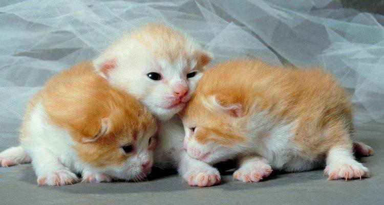 A maioria dos filhotes de gato terá olhos azuis