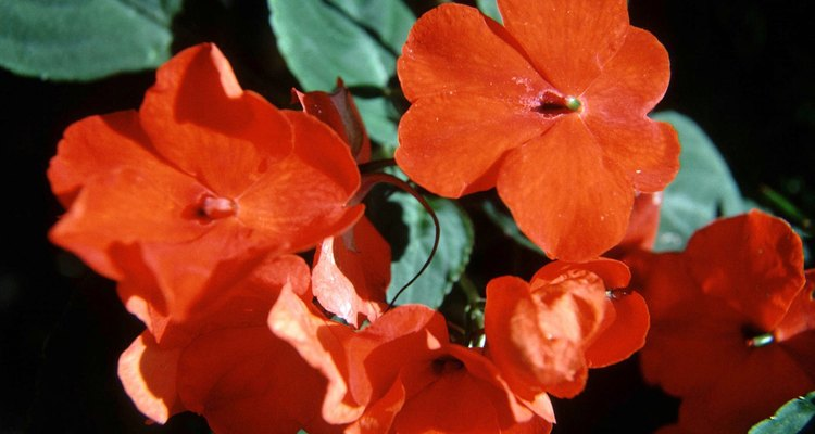 Impatiens come in red, yellow, white and purple.