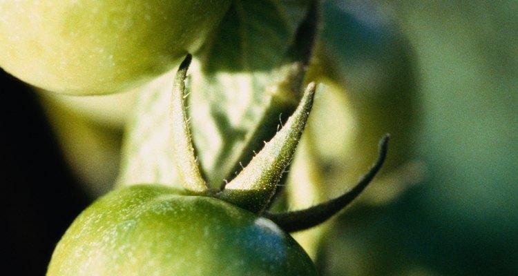 Acerca de los gusanos cornudos del tomate.