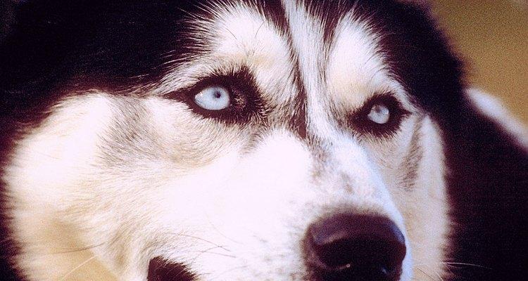 Muchos huskies poseen ojos azules distintivos.
