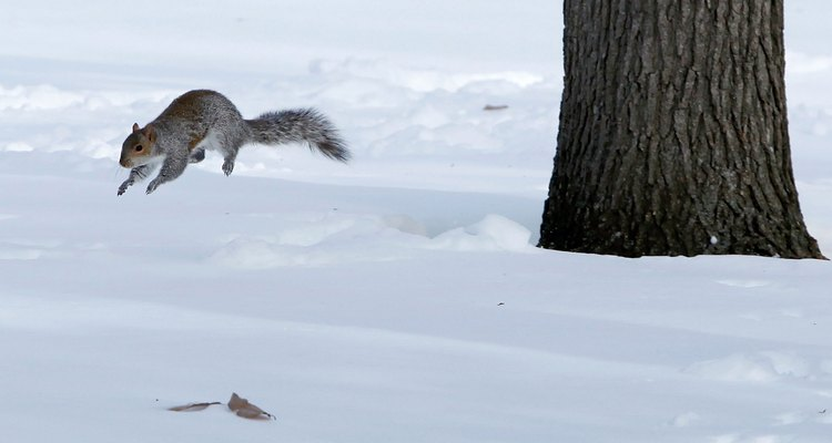 Squirrels can jump 7 feet and more.