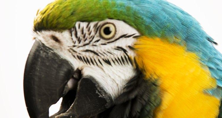 Alguns papagaios, como a arara, podem viver por mais de cem anos