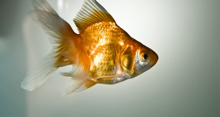 A goldfish cannot spawn alone.