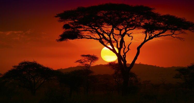 Los árboles ébano existieron una vez desde Senegal hasta Etiopía y hasta Sudáfrica.