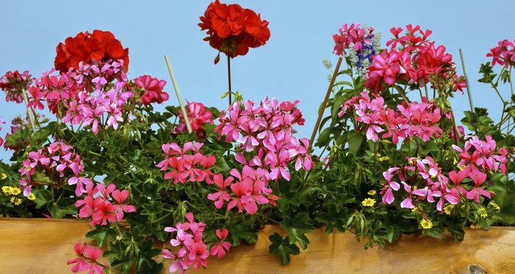 Make more geraniums by splitting up a clump.
