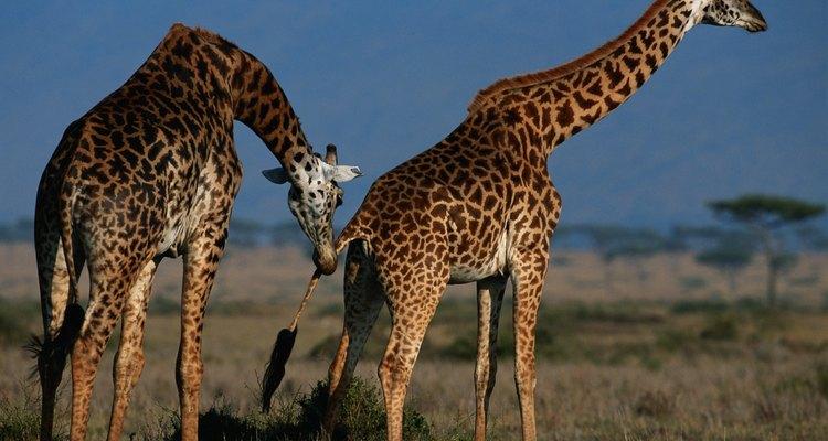 Como as girafas fazem o acasalamento?