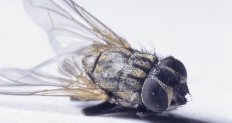 Las moscas de drenaje desovan en los desperdicios.
