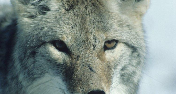 O rosto do coiote é mais triangular que o do lobo