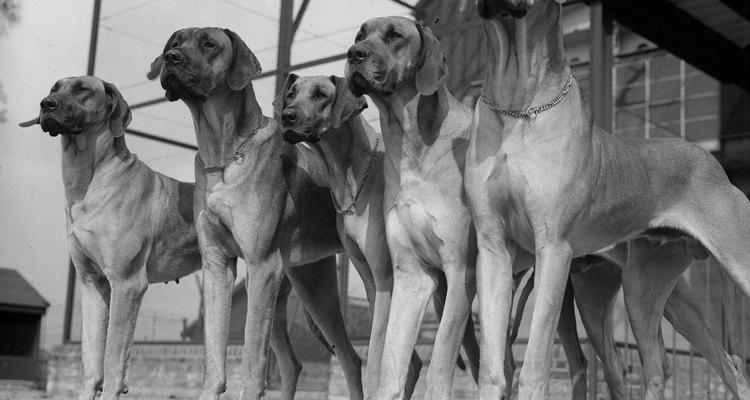 Los animales adultos jóvenes se benefician de una transición cuidadosa de la comida para cachorros.