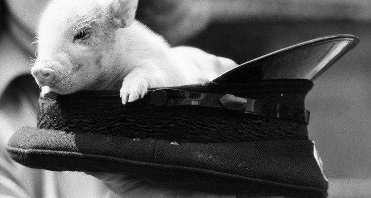 Los cerdos miniatura son amigables e inteligentes.