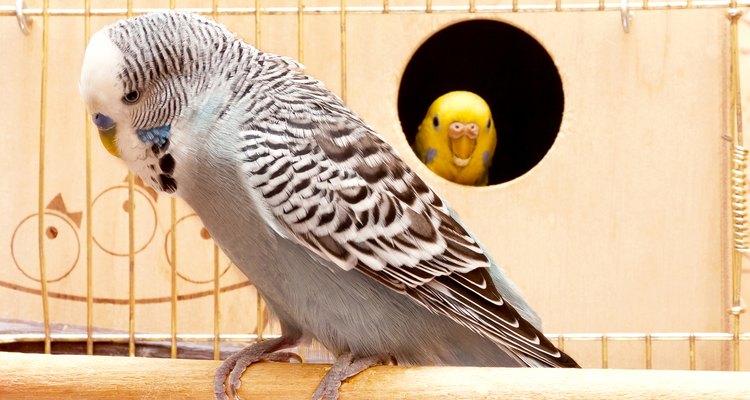 Um periquito pode usar as suas penas como material para fazer o ninho