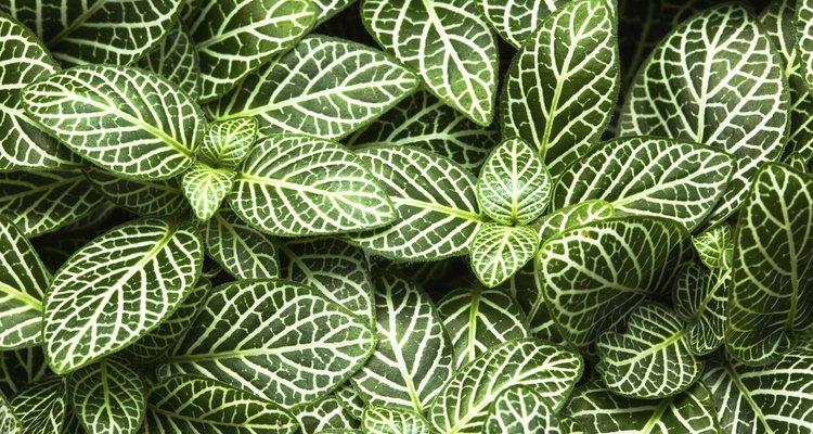 Las plantas de la variedad calathea tienen hojas con rayas blancas.