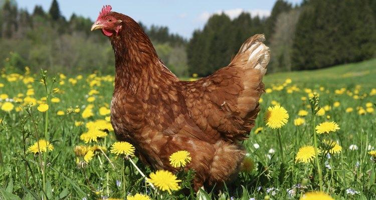 free range hen in a beautiful spring meadow