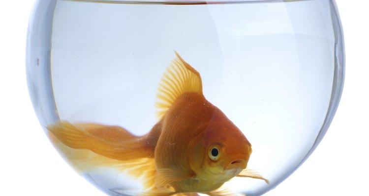 Descubre qué tipos de peces pueden vivir en peceras pequeñas.
