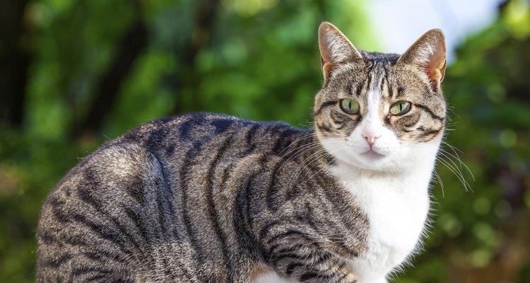 Los gatos marcan su territorio con una pequeña cantidad de orina, que tiene un olor acre que resulta particularmente molesto en climas cálidos.