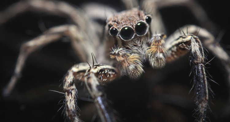 Olhos da aranha marrom