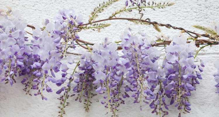 Train wisteria to grow along a wire.