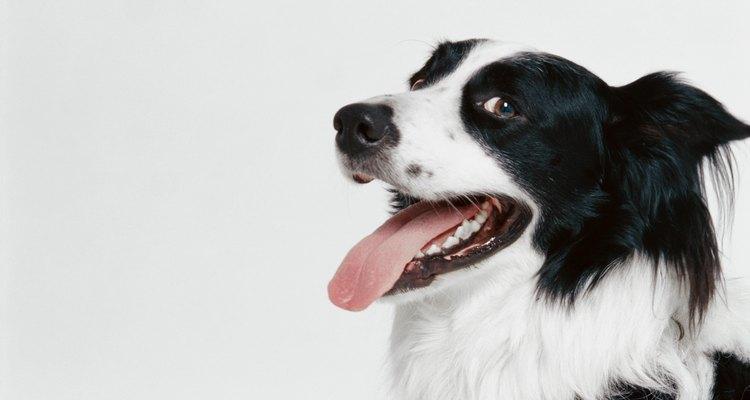 Cómo prevenir y tratar callos en perros.