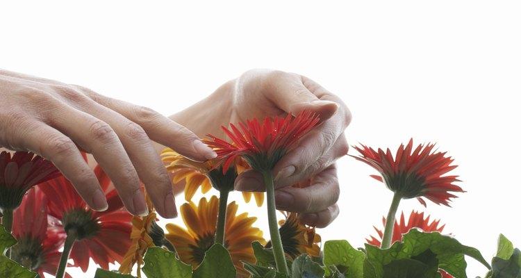 Las margaritas Gerbera necesitan sol pleno y un suelo bien drenado para unos resultados óptimos.