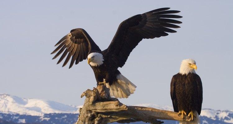 Um par de águias-de-cabeça-branca