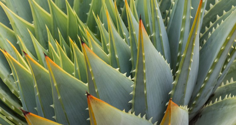 close up of cacti leaves