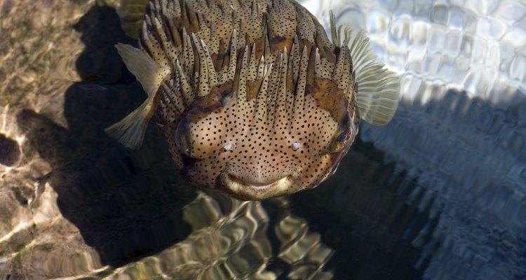 Los machos impulsan a las hembras a la superficie para reproducirse.