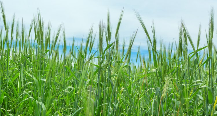 Wheat ears natural spring field background grass